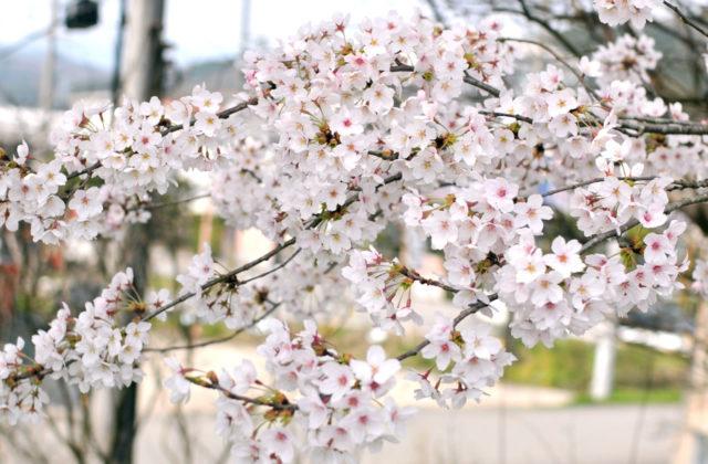 豊岡でお花見!プラリと桜の写真を撮りに行ってきたよ!